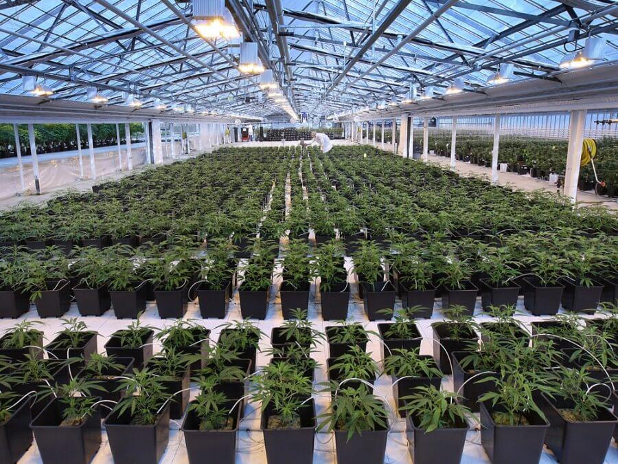 大麻栽培工場