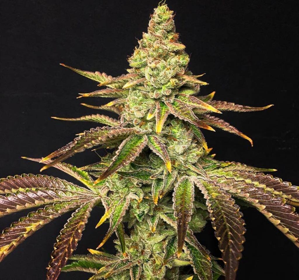 大麻の品種