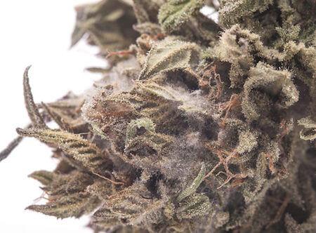 大麻のカビ