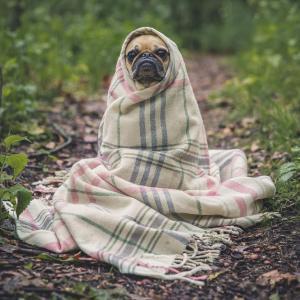ブランケットに包まる犬
