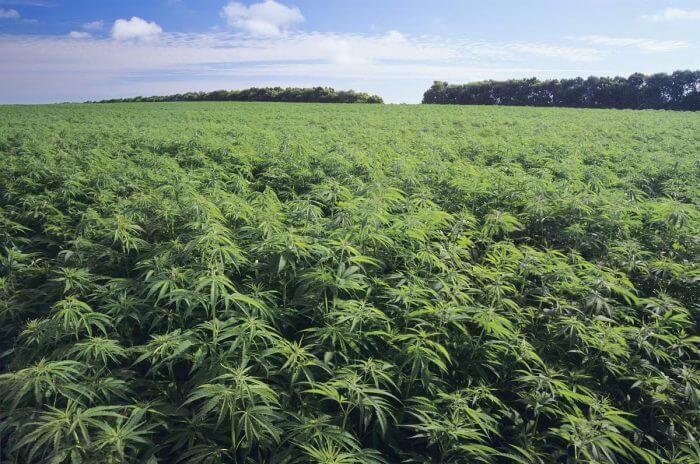 中国産業用大麻