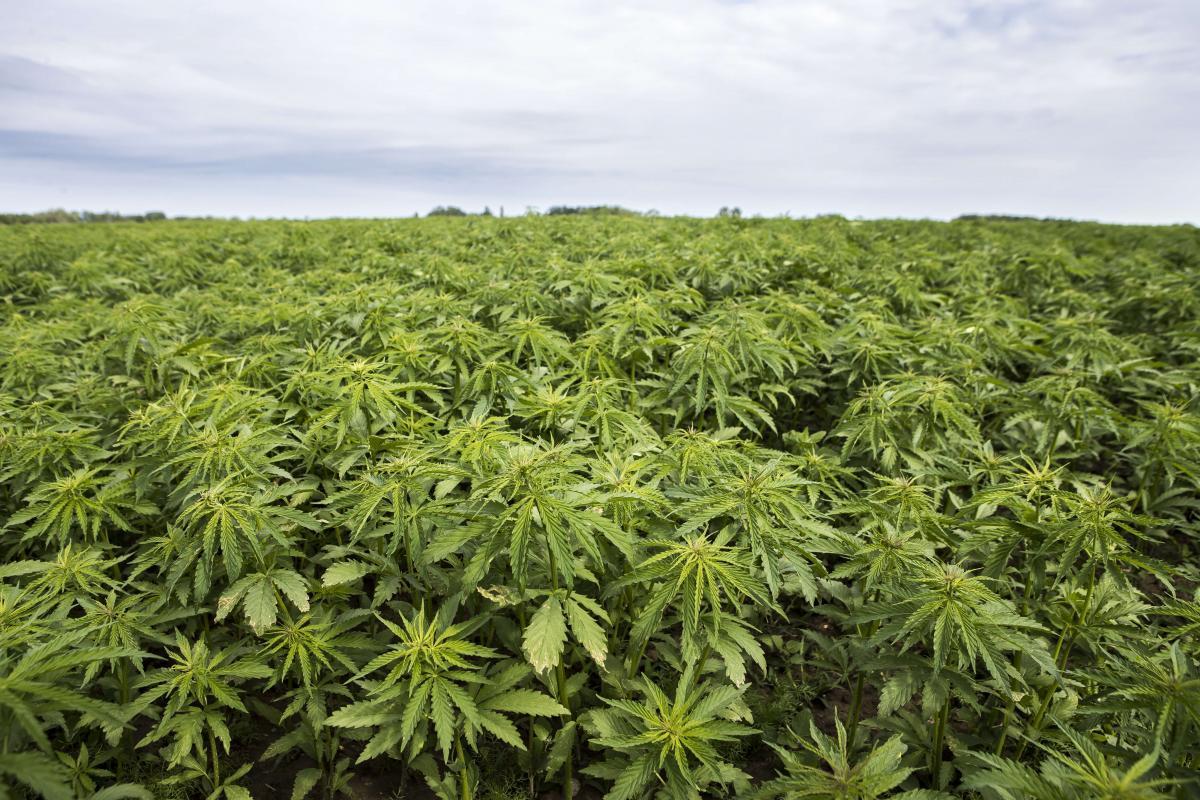 産業用大麻