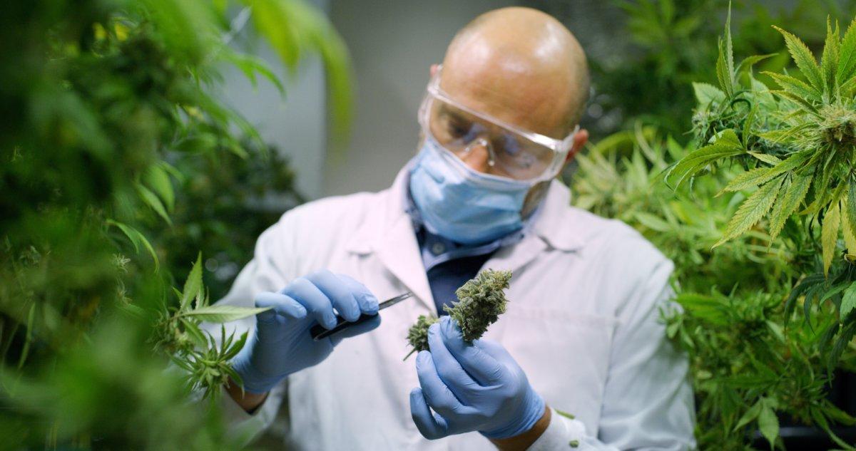 大麻を調査する科学者