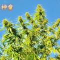 神童|SHINDO【大麻品種図鑑】
