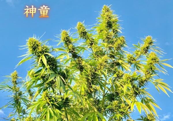 神童という大麻の品種
