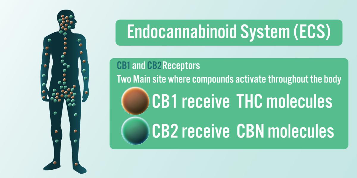 エンドカンナビノイドシステム