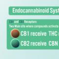 エンドカンナビノイドシステム(ECS)とは?CBDとの関係も徹底解説