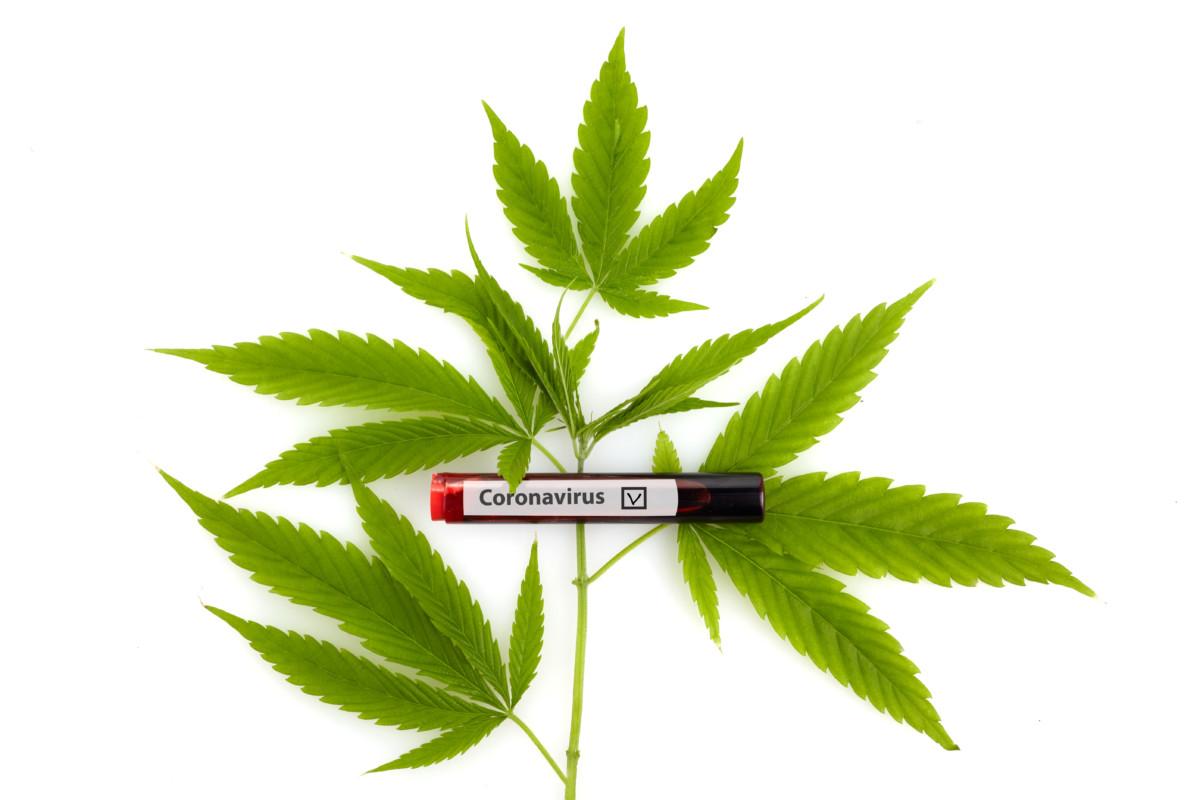 大麻草と新型コロナウイルス