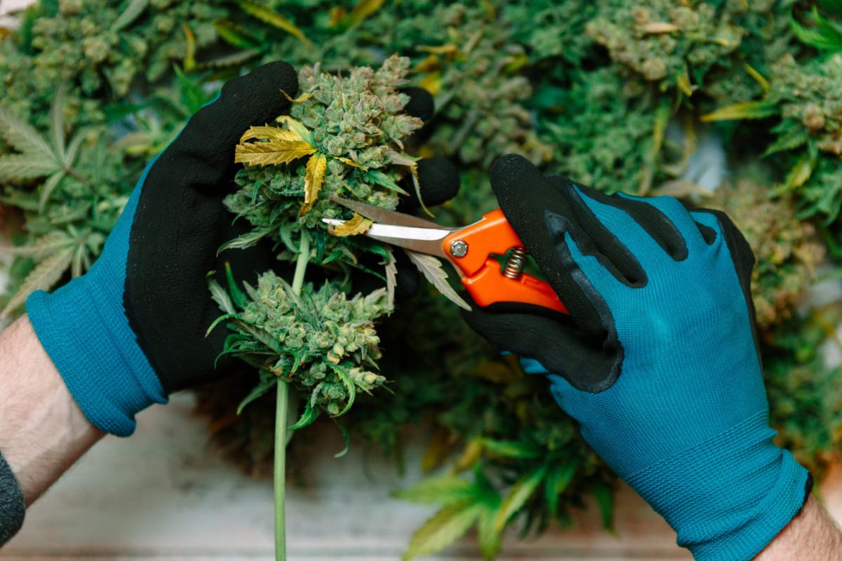 大麻のトリミングをする男性の手