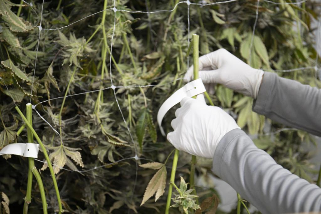 乾燥中の大麻