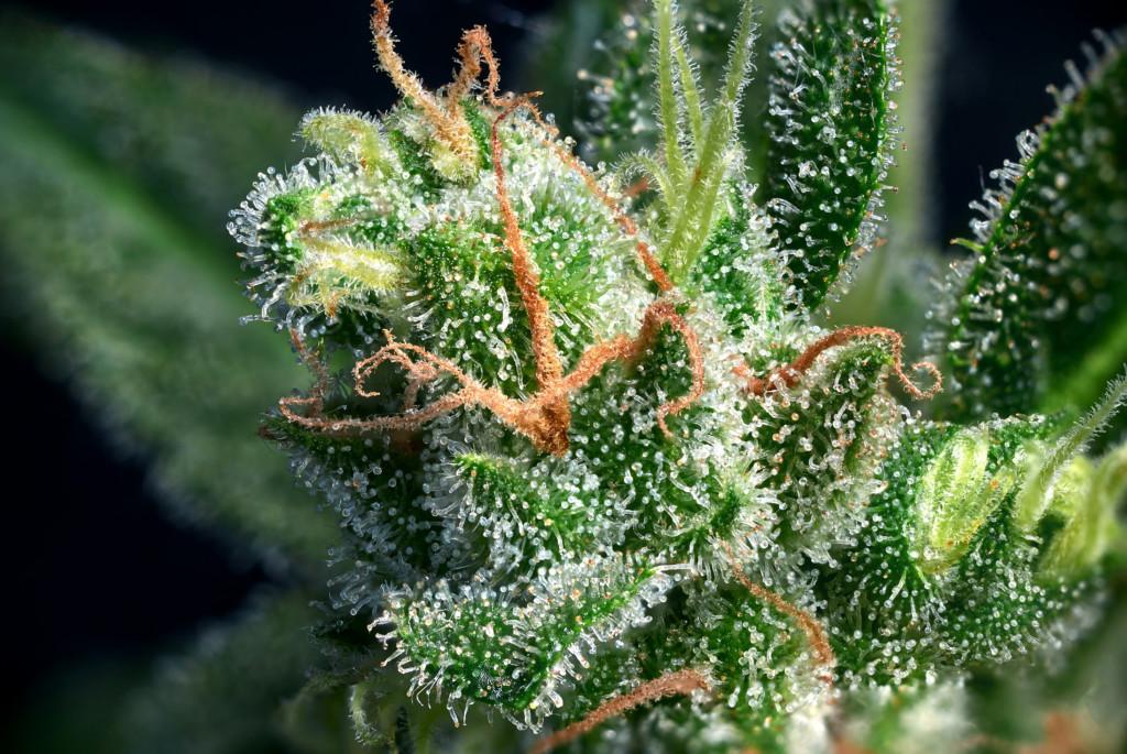 大麻に含まれるトリコローム