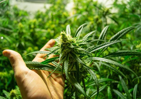 大麻を持つ手
