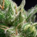 トリコームとは何か?なぜ大麻に存在するのか?