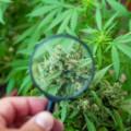 良い大麻と悪い大麻の見分け方を解説!色や臭い、使用感などの違いを見極めよう!