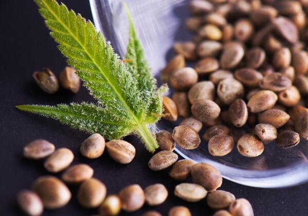 大麻の葉と種